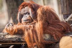 2015-04-09-11h18m30.272P7206 (A.J. Haverkamp) Tags: zoo kevin thenetherlands orangutan apenheul apeldoorn dierentuin orangoetan httpwwwapenheulnl canonef500mmf4lisiiusmlens dob02061982