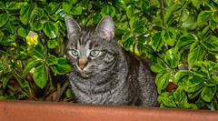 There he is: Gimmy! (Leonardo Piccioni) Tags: pets nature animals cat nikkor1685vr nikonclubit nikonsb700