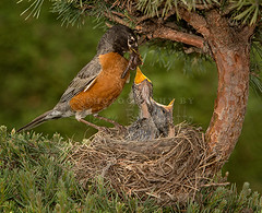 American Robin Feeding Chicks (Jerry Fornarotto) Tags: red baby tree bird nature ecology robin animal wings adult feeding outdoor eating wildlife birth beak mother feather conservation chick parent american tiny perched hungry worm ornithology reproduction americanrobin avian songbird vertebrate redbreasted zoology redbreastedrobin jerryfornarotto