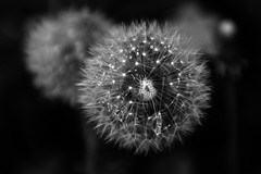 Wishing Flower (Doodles N' Dabbles) Tags: plants flower nature droplets drops dandelion seeds dew wishes wish wishing
