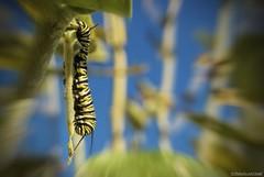 Transformer (Joe Hengel) Tags: california sandiego caterpillar socal monarch botanicalgardens