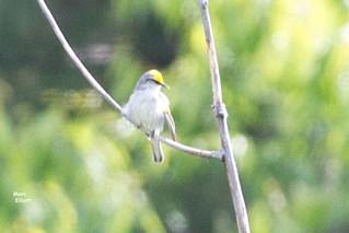 0345 S Blue-winged Warbler