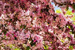 Mandatory cherry blossom shot