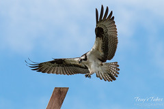 Male Osprey landing sequence - 5 of 13