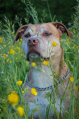 Can you see me now? (Ronald Dubbeldam) Tags: dogs honden staffords