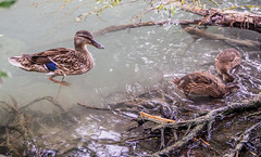 Mom with her ducklings (zsonemes) Tags: wild lake bird nature water animal female pen lite duck europe hungary crystal outdoor wildlife duckling young olympus clear mallard amateur balaton anas platyrhynchos zd balatonfzf epl5