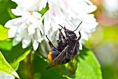 Bumblebee(Bombus Ignitus) (Johnnie Shene Photography(Thanks, 1Million+ Views)) Tags: wild people colour macro nature horizontal closeup canon insect lens outdoors photography eos rebel living spring focus scenery kiss day natural image feeding outdoor no wildlife bees scenic tranquility scene 11 images bee bumblebee upper modified daytime 28 feed sight magnified bumble tamron 90mm parallel 90 f28 tranquil hdr sights scenics freshness springtime selective t3i x5 bombus magnification organism hymenoptera fragility  hymenopteran 600d  ignitus