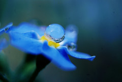 cold (taydripper) Tags: flowers blue plants plant flower nature water droplets drops waterdrop drop droplet forgetmenot dropletofwater waterdroplet forgetmenots dropofwater