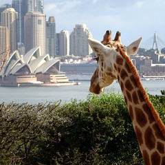 Sydney Opera House from Taronga Zoo