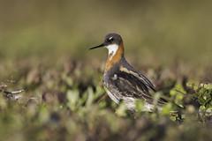 Red-necked Phalarope (www.studebakerstudio.com) Tags: bird nature alaska studebaker phalarope redneckedphalarope rednecked