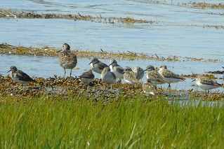 Short-billed Dowitcher and Semipalmated Sandpiper