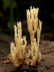Crown-tipped Coral Mushroom (treegrow) Tags: washingtondc rockcreekpark lifeonearth nature canonpowershotsx40hs raynoxdcr250 artomycespyxidatus taxonomy:binomial=artomycespyxidatus auriscalpiaceae mushroom