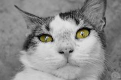 G A T O  / C A T (Tato Avila) Tags: fauna cat monocromo colombia bigotes ojos gato campo felinos blanconegro clido