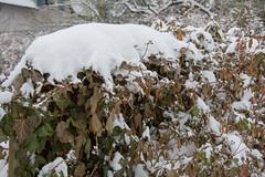 ckuchem-1148 (christine_kuchem) Tags: blten efeu eiskristalle frost garten kristalle nahrung naturgarten samenstnde stauden vogelnahrung vogelschutz vgel wildgarten winter wintergarten winternahrung naturbelassen naturnah natrlich reif schnee berzogen