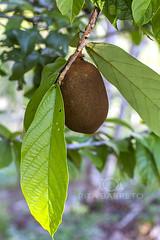 Cupuau (Rita Barreto) Tags: fruta cozinha vitamina suco sobremesa culinria cupuau gastromia theobromagrandiflorum frutadaamaznia cupuaunop rvoredecupuau