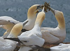 Gannets /  Basstlpel (heiko.moser) Tags: color bird nature animal closeup canon deutschland tiere outdoor natur natura insel german vgel animale nahaufnahme tier vogel gannets helgoland basstlpel heikomoser