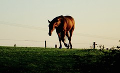 Heavy Weather. (elam2010) Tags: morning summer england horse hot nature animal zeiss rural fence dawn countryside sony wirral heatwave sonyrx10