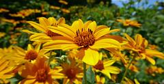 Seeking the sun - Heliopsis helianthoides - Asteraceae (Monceau) Tags: seeking seeker flower gold yellow heliopsishelianthoides asteraceae seek sun joyful