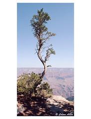 Living On The Edge (Daiku_San) Tags: film ishootfilm 35mmfilm colorfilm grandcanyon grandcanyonnationalpark nationalpark nps panoramiccamera widelust tree zenzabronicaetrsi zenzanonmc404 135wpanoramicback 135w kodakektar100 epsonv750mpro