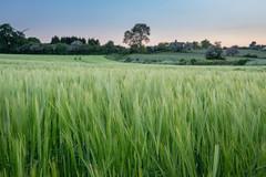 Blue, Pink, Green... (Geraldine Curtis) Tags: sunset lastlight goldenlight barley windturbine sheepwindily derbyshire