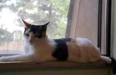 Glamour Shot (pam's pics-) Tags: cat feline kitty kitteh patsy animal pet domesticcat pamspics pammorris sonya600 athome denver co colorado