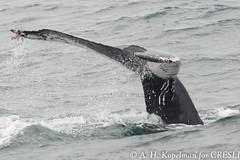 AHK_9909 (ah_kopelman) Tags: cresli megapteranovaeangliae montaukny montaukwhalewatch2016 vikingfleet humpbackwhale
