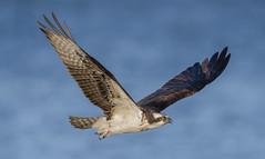 Osprey (nikunj.m.patel) Tags: osprey bird flight raptor migration maryland nature photography wildlife birds