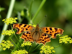 Quick stop (sunset1uk) Tags: comma commabutterfly butterfly hangleton eastsussex brighton hove england southdowns