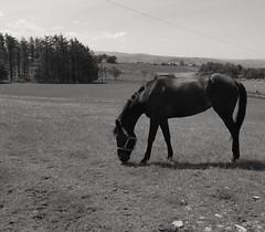 Hastylady (garethe66) Tags: blackandwhite blancoynegro blancetnoir ceffyl horse anifail duagwyn animal