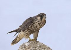 Peregrine Falcon (juvenile) (Steve Ashton Wildlife Images) Tags: peregrine falcon peregrinefalcon falco peregrinus raptor bird prey