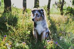 Random (Alice Veresova) Tags: dog puppy miniaussie mydog summer animals