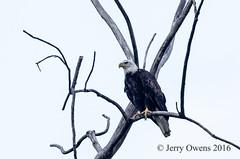 8733 (JerrysPhotographs) Tags: americanbaldeagle baldeagle bird birds eagle oklahoma places sequoyahnationalwildliferefuge wildlife