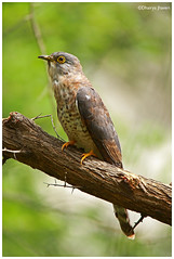 Common Hawk Cucko (Dhairya Jhaveri) Tags: cuckoo birds wildlife perch green monsoon india canon tamron gujarat light tree