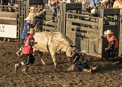 """Here, let me help you up"" (Patty Bauchman) Tags: pbr bullriding rodeo bullfighters bigskypbr montana outlawpartners bigskymt"