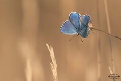 argus bleu mle dans les herbes sches (mirage 31) Tags: espagne argusbleu embalsedelasnavas papillon polyommatusicarus
