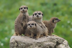 The Boys.......... (klythawk) Tags: meerkats rock summer nature dof bokeh green grey brown yellow beige black white olympus em1 omd 40150mm 14xtc dudleyzoo birmingham klythawk