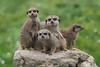 The Boys.......... (klythawk) Tags: meerkats rock summer nature dof bokeh green grey brown yellow beige black white olympus em1 omd 40150mm 14xtc dudleyzoo birmingham klythawk