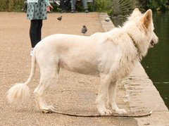 Not A Lion! (cocabeenslinky) Tags: west westend end london city capital england united kingdom uk photos photography art panasonic lumix dmcg6 cocabeenslinky july 2016 hyde park not a lion white alsation stupid haircut hair cut dog pooch award goes owner