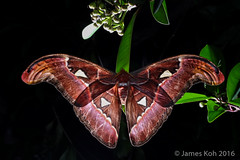 1600-JKWB4650 ([wj]) Tags: 160909 pulauubin singapore moth attacus