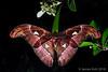 1600-JKWB4650 ([wj]) Tags: 160909 pulauubin singapore moth attacus backlit backlight