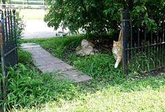 Ziggy Cat - Spot in the Shade 7-20-16 (anothertom) Tags: cats ziggycat yard hotday summerheat hello greeting spotinshade sonyrx100ii