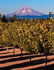 Filberts and Mt. Hood (Farm_Boy) Tags: filberts hazelnuts mthood mountain trees nuts farm oregon usa nw