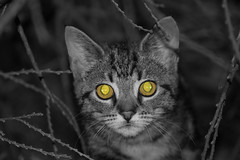 Here's looking at you kit (bw col eyes) (ArtGordon1) Tags: selectivecolouring cat cateyes feline animal fur eyes davegordon davidgordon daveartgordon davidagordon daveagordon artgordon1 london england walthamstow