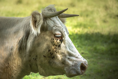 I hate flies (bocero1977) Tags: light wildlife horns nikon nature details nose flies green fly outdoor animal cow