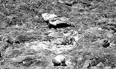 Salt Formations While Walking Around Badwater Basin (Black & White, Death Valley National Park) (thor_mark ) Tags: 86meters282ftbelowsealevel badwaterbasin belowsealevel blackwhite capturenx2edited colorefexpro day3 deathvalley deathvalleynationalpark desertlandscape lookingnorth lowestelevationinnorthamerica nature nikond800e project365 salt saltflat triptodeathvalleyandcalifornia california unitedstates