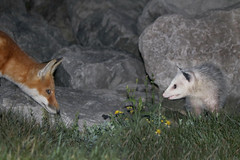 Night Life (marylee.agnew) Tags: red fox canine marsupial mammal night wildife friends urban opossum nature interaction