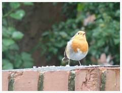 Tweet Tweet... A sweet little Robin,captured on zoom when out for a walk today... (Orchids love rainwater) Tags: robin wall bird sandfordpark september
