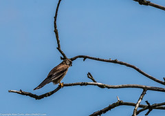 9Q6A7109 (2) (Alinbidford) Tags: alinbidford alancurtis brandonmarsh kingfisher greyheron heron kestrel