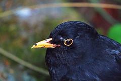 Blackbird (georgehart64) Tags: scotland aberdeenshire aberdeen johnstongardens canon70d canon black bird turdusmerula blackbird