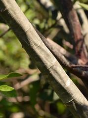 rusty willow (ophis) Tags: salicaceae salix salixatrocinerea rustywillow